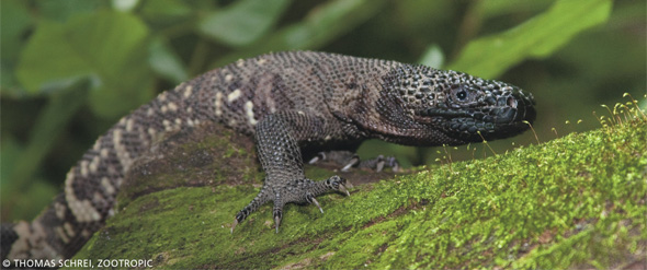 Guatemalan Beaded Lizard